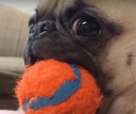 pug vines try not to lol this animal vine compilation especially at the pug at 5