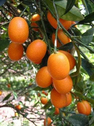 kumquat tree not bearing fruit 141 best images about to see things grow on