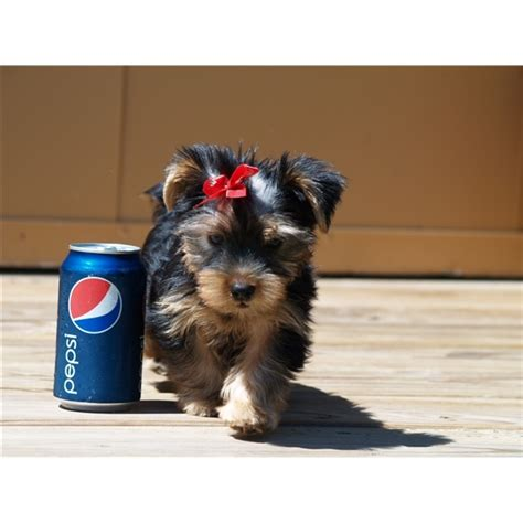 teacup yorkies for adoption in pa 25 b 228 sta yorkie puppies id 233 erna p 229 teacup yorkie yorkie och s 246 ta valpar