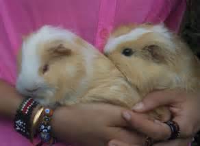 Cute fat guinea pig homes for pinterest