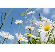What Is Asteraceae With Pictures