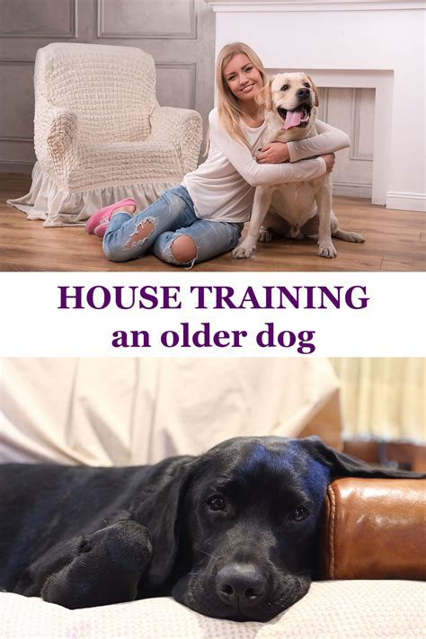 how to house train a older dog potty training an older dog the labrador site