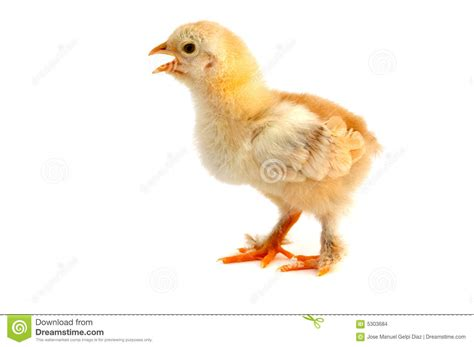 small chicken small chicken stock images image 5303684