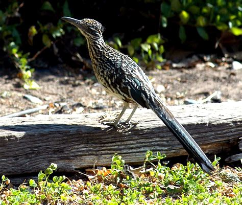 roadrunner new mexico state bird life bird list pinterest