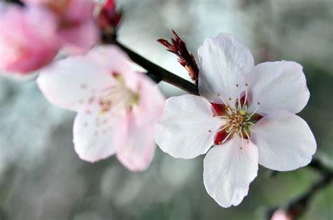 ciliegio in fiore ciliegio in fiore 4 free photos highres
