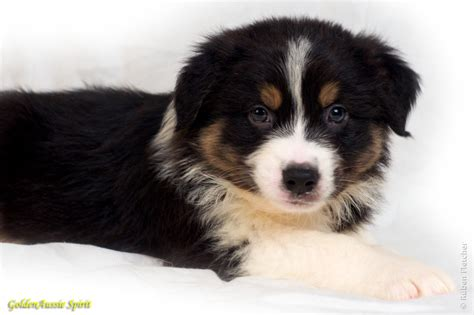 black australian shepherd puppy australian shepherd puppies black tri www pixshark images galleries with a bite