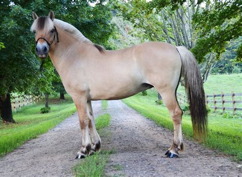 fjord horse for sale uk 17 best ideas about fjord horse on pinterest pretty