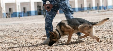 bomb sniffing dogs 3ders org us government uses 3d printing to develop artificial bomb sniffing