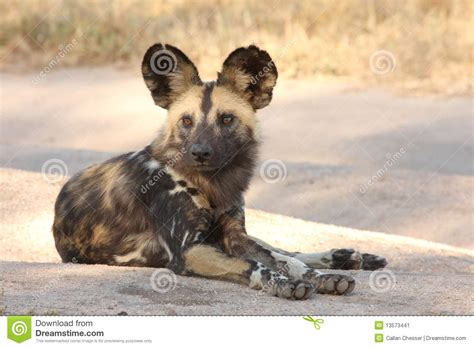 dogs in africa dogs in south africa stock image image 13573441