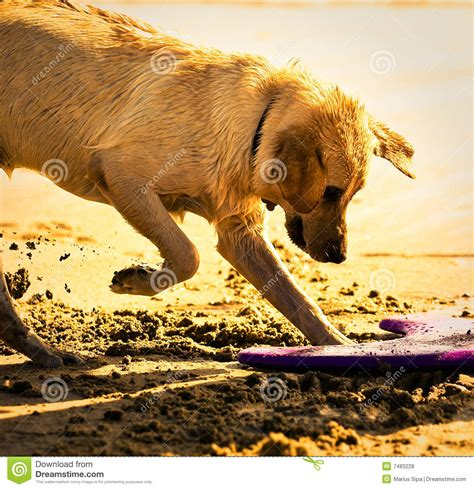 golden retriever digging golden retriever digging in sand royalty free stock photos image 7483228
