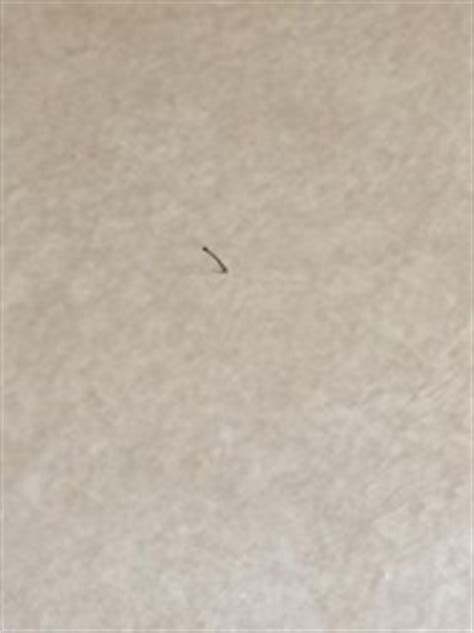 small worms in kitchen tiny brown larvae in kitchen are moth fly larvae all