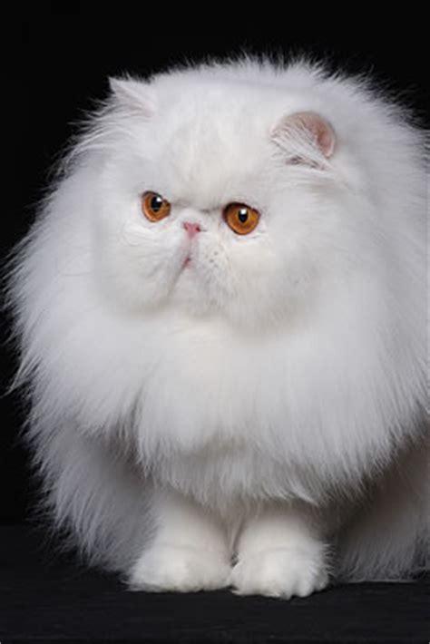 foto persiani persiano gatti allevatori allevamenti annunci