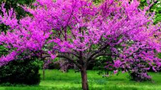 redbud tree youtube