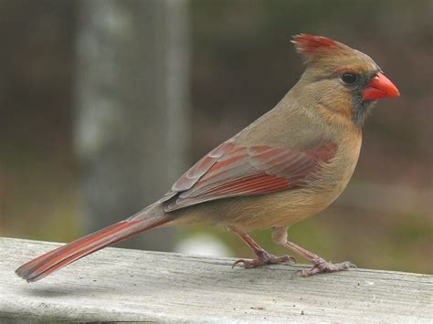 what color are cardinals cardinalis cardinalis