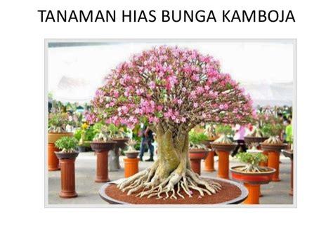 tanaman hias bunga kamboja bisnis