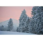 Blue Spruce Winter Snow Desktop Wallpaper