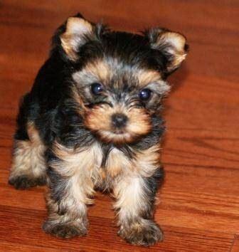 huis te koop yorkshire dieren theekopje yorkshire terrier puppy verkocht