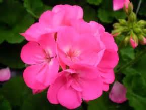 americana pink zonal geranium