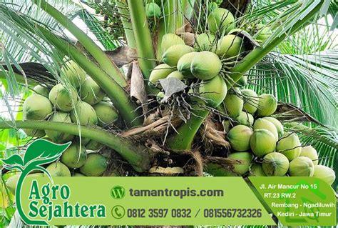 Bibit Kelapa Hijau Wulung harga bibit kelapa wulung