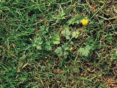 how to cut weeds in backyard types of weeds in the lawn hgtv