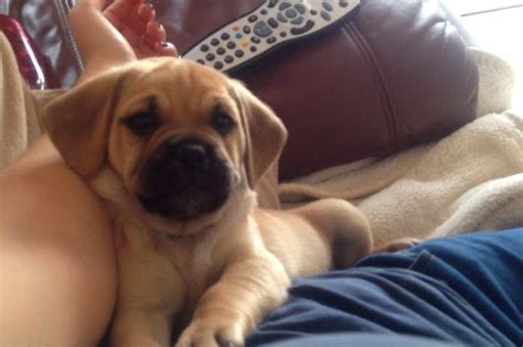 pug x puppies for sale uk puggle puppies for sale beagle x pug cramlington northumberland pets4homes