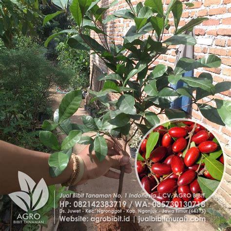 Bibit Buah Miracle jual bibit buah ajaib biji 40 cm agro bibit id