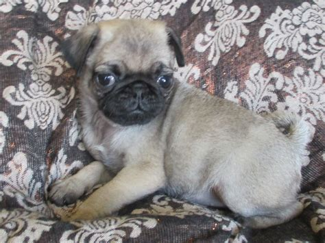 pug litter excellent litter of kc reg pug puppies swansea swansea pets4homes