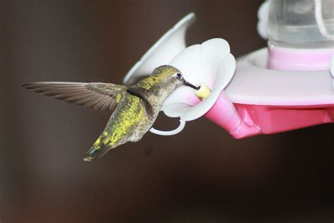 when to hang your hummingbird feeders the gilligallou