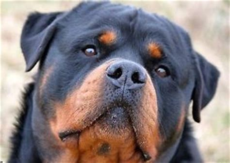 rottweiler rehoming size german rottweiler puppies ckc registered dogs puppies for rehoming