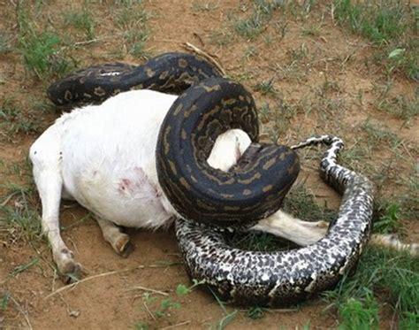 Korek King Yellow Ular Plus Asbak animals animals anacondas crocodiles and other creatures