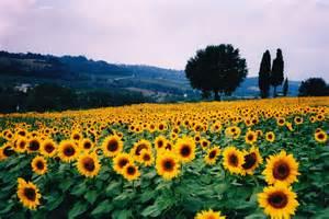 sunflower fields ch 232 vrefeuille s haiku blog sunflower
