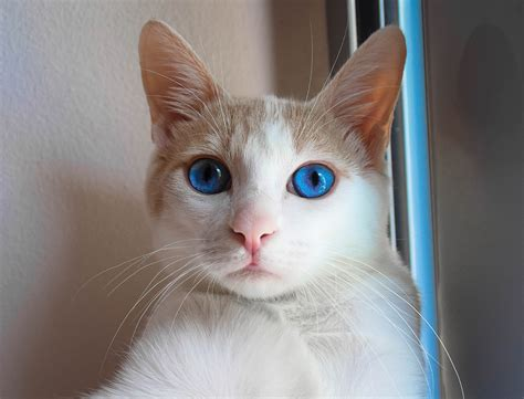 beautiful in top 10 most beautiful cats in the world