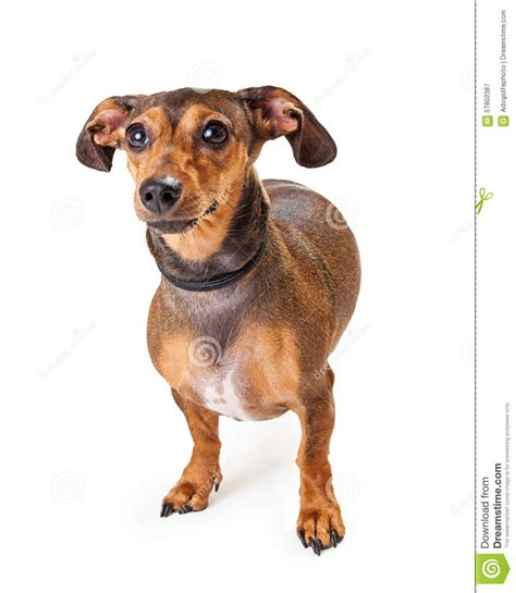 breeds with ears that stand up small dachshund mixed breed standing stock photo image 57802387