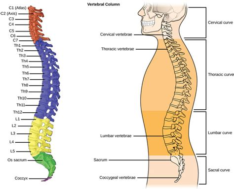 the spinal column is divided into how many sections types of skeletal systems boundless biology