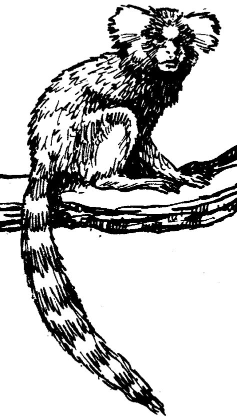 marmoset monkey coloring page related keywords suggestions for marmoset drawing
