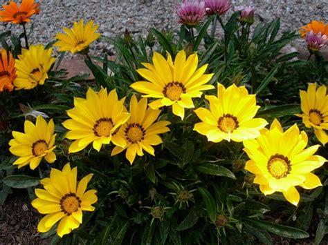 gazania fiore gazania gazania uniflora piante annuali come