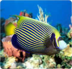 are some of the most beautiful marine Tropical Fish available to the