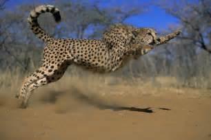 Fast Can Jaguar Run Gep 225 Rd