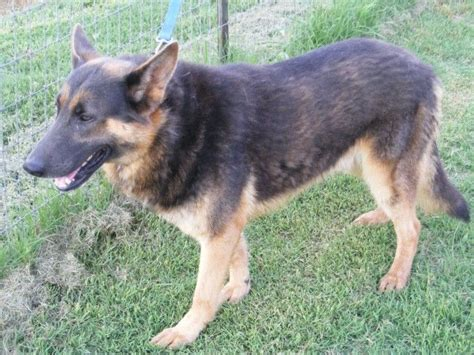 king shepherd puppies for sale 279 best images about king shepherd on