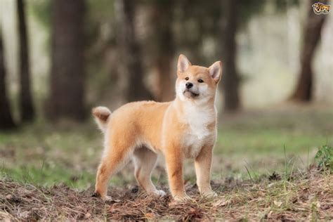 where to buy a shiba inu puppy japanese shiba inu breed information buying advice photos and facts pets4homes
