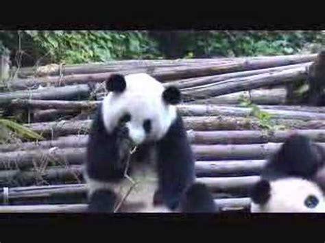 Sneezing Panda Meme - sneezing panda â kichajä ca panda ten film odtworzono juå