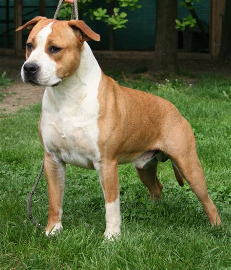 American Staffordshire Terrier - Tommy (Ataxia Carrier)