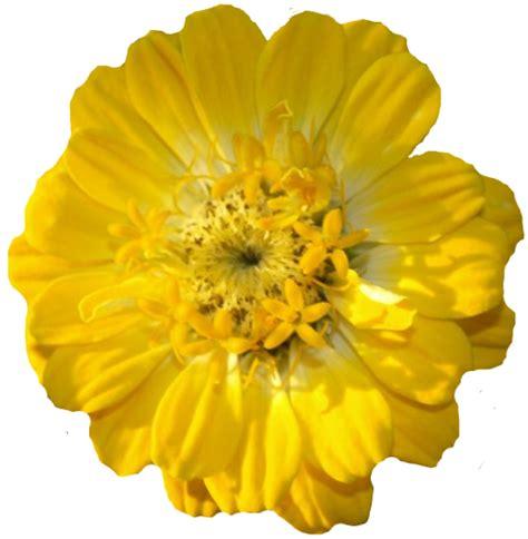 imagenes flores sin fondo flores con fondo transparente