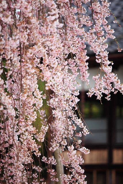 cherry tree usda zone 25 best ideas about weeping cherry tree on cherry tree cherry plant and