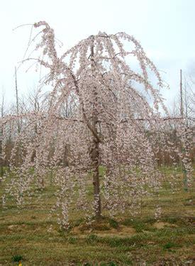 weeping yoshino japanese flowering cherry plants chris