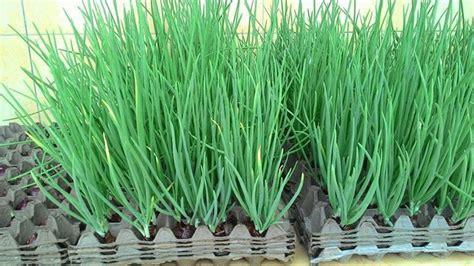Tray Semai Bandung tanam daun bawang dengan media hidroponik sederhana dan murah