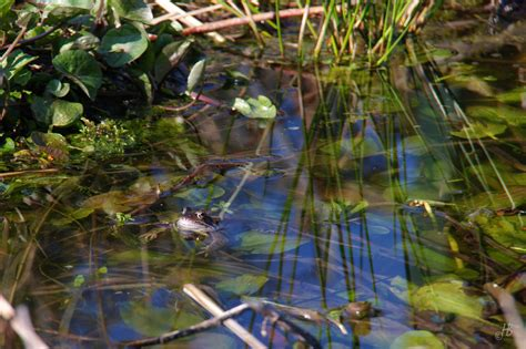frösche im teich 4031 fr 246 sche im teich ferienwohnung blau pfalz deutsche
