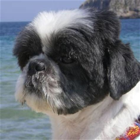 fotos de perros shih tzu miniatura raza shih tzu fotos de perros shih tzu