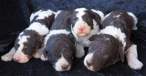chocolate labradoodle puppies for sale labradoodle breeders labradoodle puppies for sale