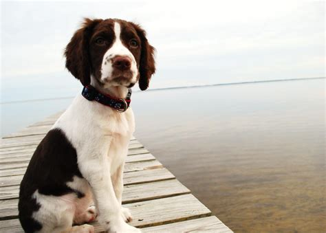 springer puppies springer spaniel on the bridge photo and wallpaper beautiful springer